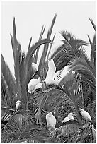 Egret rookery on palm tree, Baylands. Palo Alto,  California, USA (black and white)