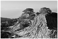 Torrey Pine trees on eroded hill,  Torrey Pines State Preserve. La Jolla, San Diego, California, USA (black and white)