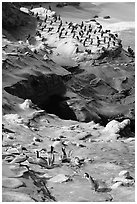 Pelicans and cormorants, the Cove. La Jolla, San Diego, California, USA (black and white)