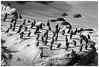 Cormorants, the Cove. La Jolla, San Diego, California, USA ( black and white)