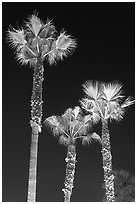 Lighted palm trees by night. Huntington Beach, Orange County, California, USA (black and white)