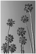 Palm trees. Laguna Beach, Orange County, California, USA ( black and white)