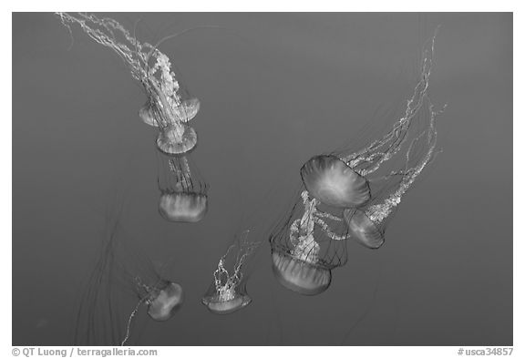 Sea Nettle Jellyfish at the Monterey Bay Aquarium. Monterey, California, USA (black and white)