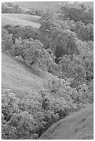 Oaks and hills in late spring. San Jose, California, USA ( black and white)