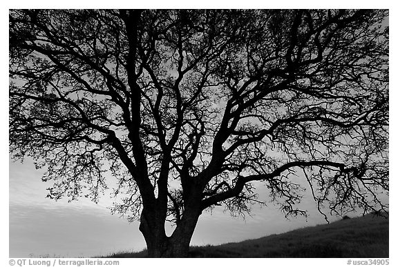 Oak tree silhouetted at sunset. San Jose, California, USA (black and white)