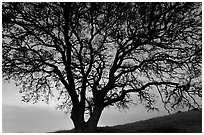 Oak tree silhouetted at sunset. San Jose, California, USA ( black and white)