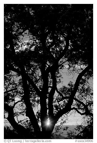 Oak tree and sun. San Jose, California, USA (black and white)