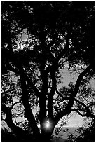Oak tree and sun. San Jose, California, USA ( black and white)
