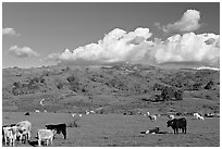 Cows in pasture below Mount Hamilton Range. San Jose, California, USA (black and white)