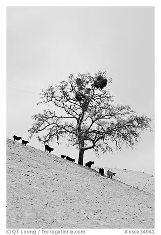 Cows and oak tree on snow-covered slope, Mount Hamilton Range foothills. San Jose, California, USA (black and white)