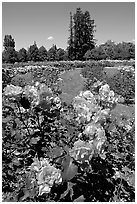 Roses, Municipal Rose Garden. San Jose, California, USA ( black and white)
