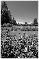Red roses, Municipal Rose Garden. San Jose, California, USA (black and white)