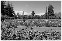 San Jose  Rose Garden. San Jose, California, USA ( black and white)