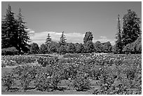 Roses and pine trees, Municipal Rose Garden. San Jose, California, USA ( black and white)