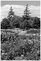 Roses and fountain, Municipal Rose Garden. San Jose, California, USA (black and white)