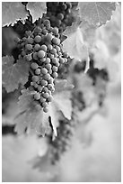 Grapes, Gilroy. California, USA ( black and white)