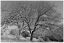 Bare oak trees in spring, Sunol Regional Park. California, USA ( black and white)