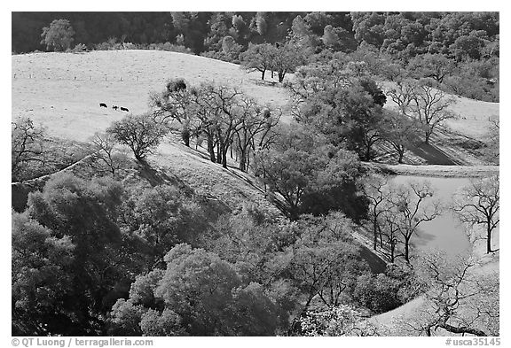 Pastoral scene with cows, trees, and pond, Sunol Regional Park. California, USA (black and white)