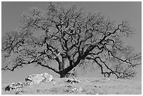 Bare oak tree and rocks on hilltop, Sunol Regional Park. California, USA ( black and white)