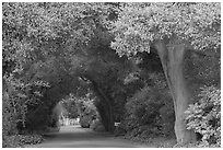 Tunnel of trees on residential street. Menlo Park,  California, USA (black and white)