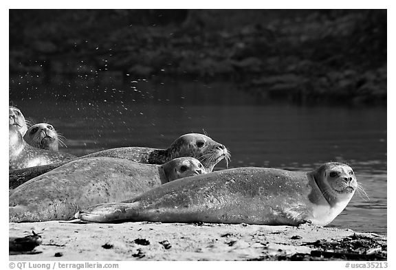 Seals and stream, Pescadero Creek State Beach. San Mateo County, California, USA