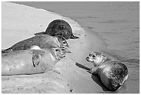 Two seals, Pescadero Creek State Beach. San Mateo County, California, USA (black and white)