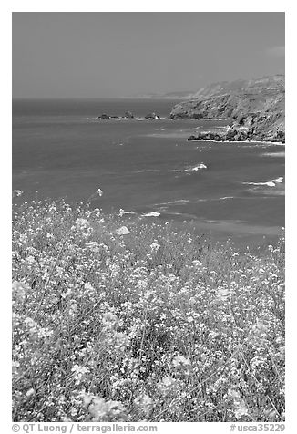 Yellow mustard flowers, coastline with cliffs, Pacifica. San Mateo County, California, USA (black and white)