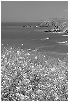 Yellow mustard flowers, coastline with cliffs, Pacifica. San Mateo County, California, USA ( black and white)