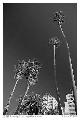 Palm trees and hotels. Santa Monica, Los Angeles, California, USA (black and white)