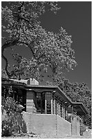House with tree growing from within, Hanna House, Frank Lloyd Wright architect. Stanford University, California, USA (black and white)