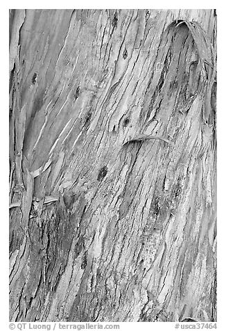 Bark of ucalyptus tree trunk. Burlingame,  California, USA (black and white)