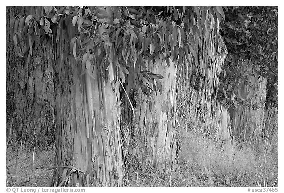 Trunks and leaves of Eucalyptus trees. Burlingame,  California, USA