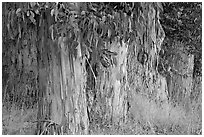Trunks and leaves of Eucalyptus trees. Burlingame,  California, USA ( black and white)