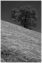 Hillside with California Poppies and oak tree. El Portal, California, USA ( black and white)