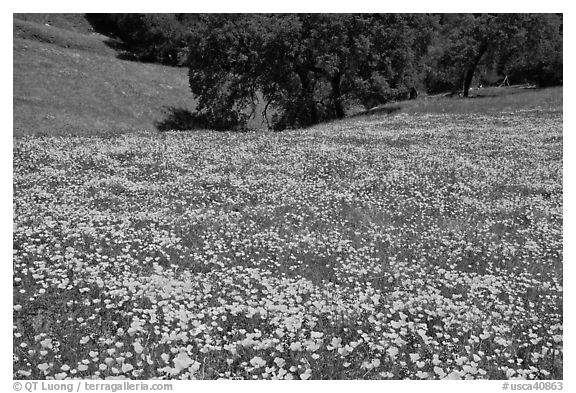 Slope with spring poppies. El Portal, California, USA (black and white)