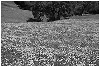 Slope with spring poppies. El Portal, California, USA ( black and white)