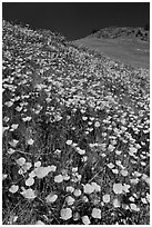 Hills covered with poppies and lupine. El Portal, California, USA (black and white)