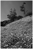 Hills with carpets of flowers and trees. El Portal, California, USA (black and white)