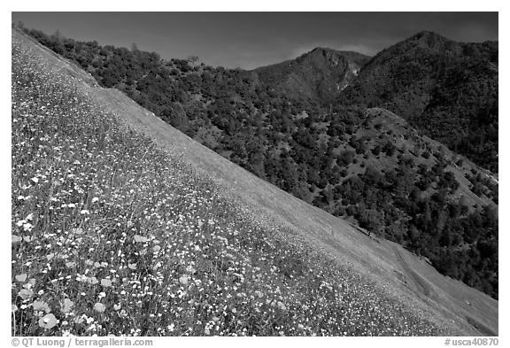 Poppies, popcorn flowers, and lupine on slope. El Portal, California, USA (black and white)