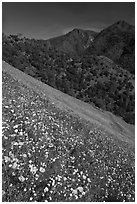Wildflower blanket and Sierra foothills. El Portal, California, USA (black and white)