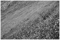 Slope covered with filed of spring wildflowers. El Portal, California, USA ( black and white)