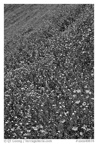 Multicolored spring flowers on slope. El Portal, California, USA (black and white)