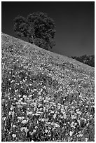 Carpet of poppies and oak tree. El Portal, California, USA ( black and white)