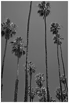 Tall palm tres against blue sky. Santa Barbara, California, USA ( black and white)