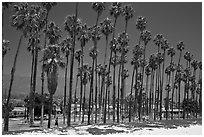 Beachfront and tall palm trees. Santa Barbara, California, USA ( black and white)
