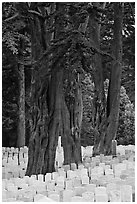 Gravestones and trees, San Francisco National Cemetery, Presidio. San Francisco, California, USA (black and white)