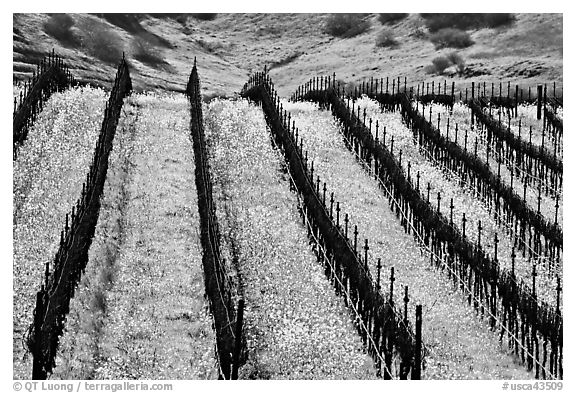 Yellow mustard flowers bloom in spring between rows of grape vines. Napa Valley, California, USA (black and white)
