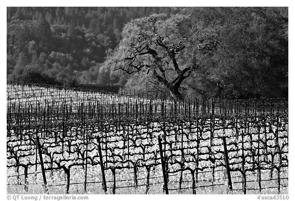 Vineyard and oak tree in spring. Napa Valley, California, USA