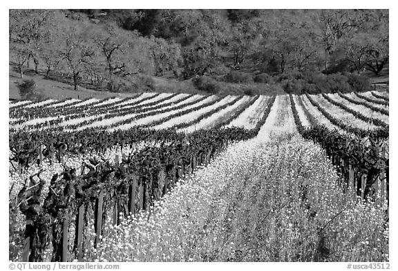 Vineyard in spring with yellow mustard flowers. Napa Valley, California, USA