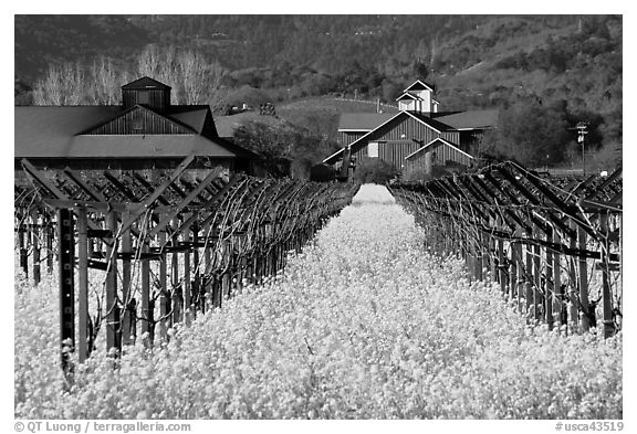 Mustard flowers, vineyard, and winery building. Napa Valley, California, USA (black and white)